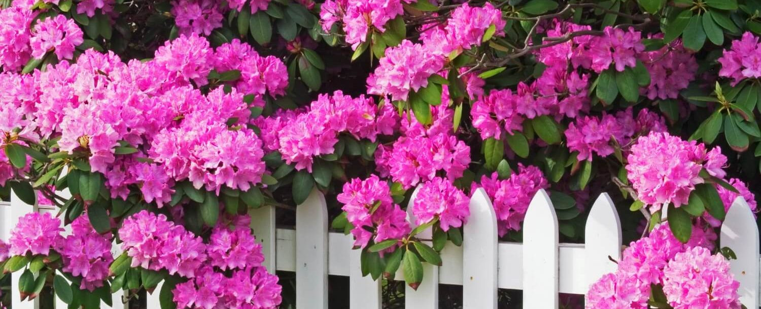 rhododendron festival flowers on white picket fence